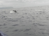 Azores dolphins